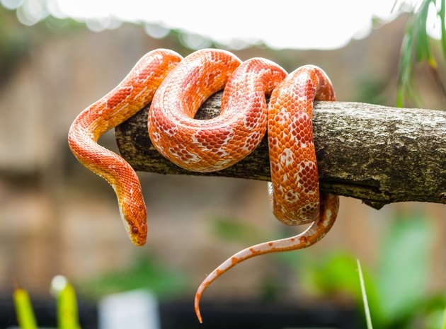 Corn snake on a branch