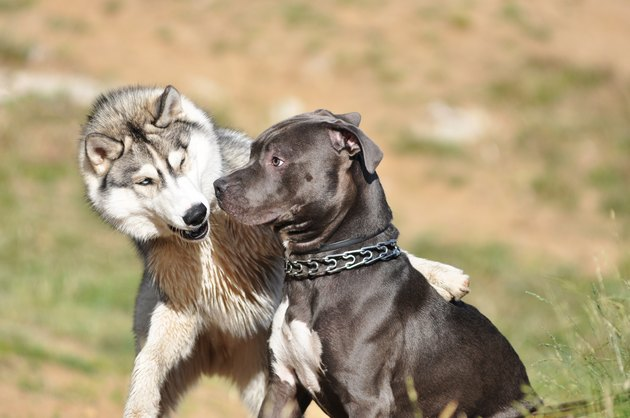 Dog behavior: husky acts aggressively, staffordshire terrier looks confused