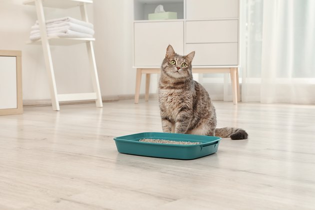 Grey cat sitting next to blue litter box indoors