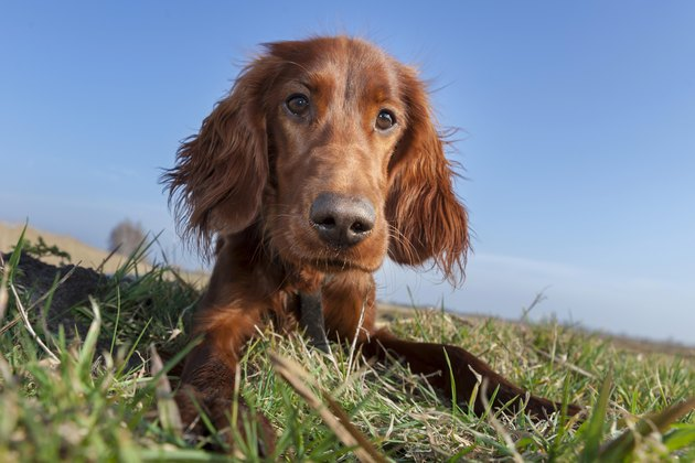 Irish Setter dog lying in a field, Wustermark, Brandenburg, Germany