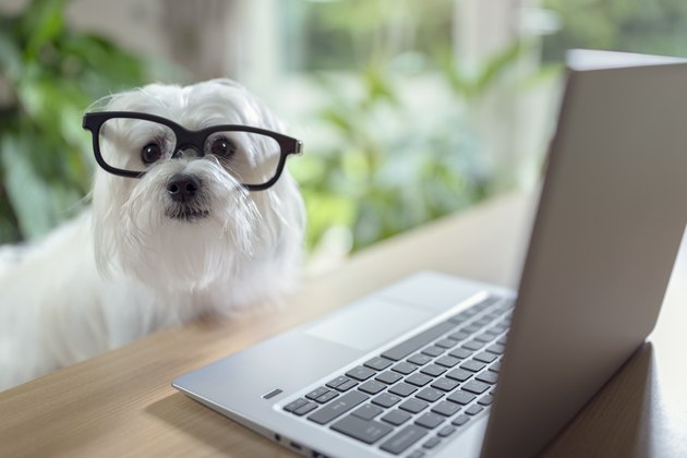Dog using laptop computer