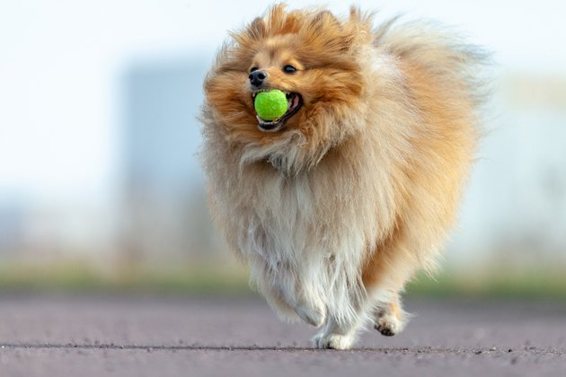 a shetland sheepdog plays with a little ball