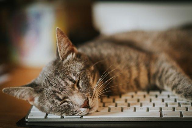 Cat sleeping, resting on computer keyboard.