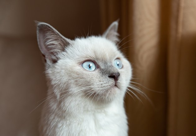 Bristish cat lilac dot