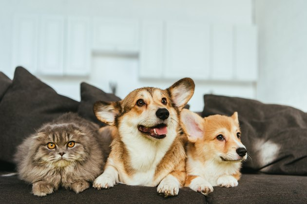 welsh corgi dogs and british longhair cat on sofa at home