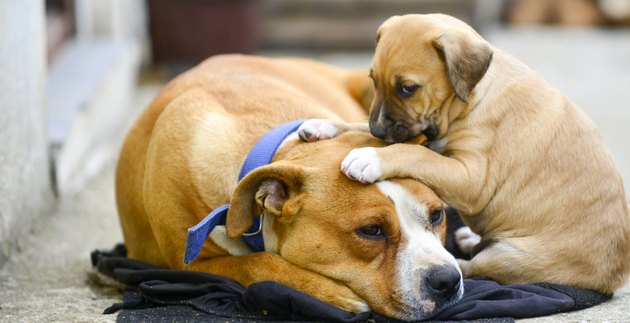 mixed breed puppy of an amstaff dog with mother