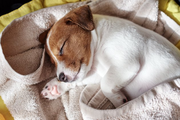 Jack russel terrier dog sleep in the bed