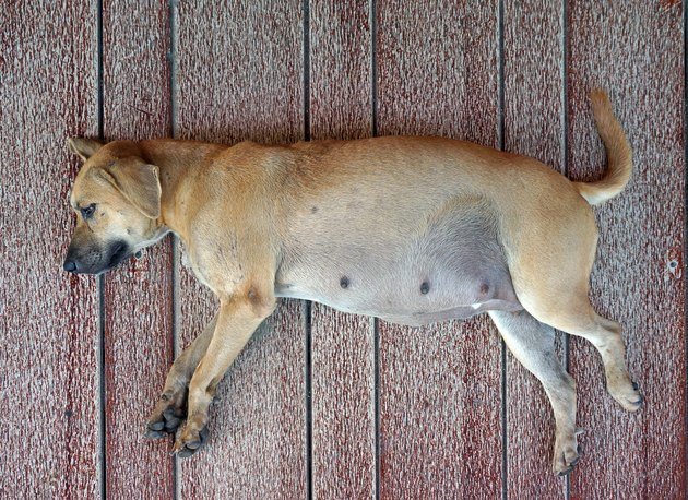 pregnant dog sleeping on floor