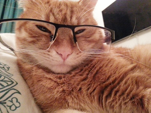 cool attitude red cat wearing black frame spectacles