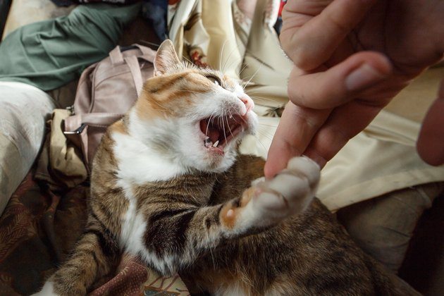 Beautiful ginger angry cat playing with woman hand and biting her with funny emotions