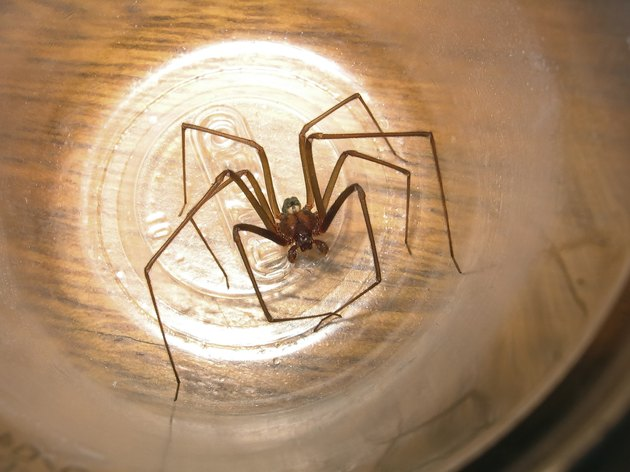 Loxosceles recluse spider capture in a plastic cup