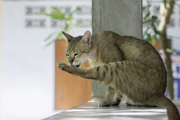 Cats lick their legs.