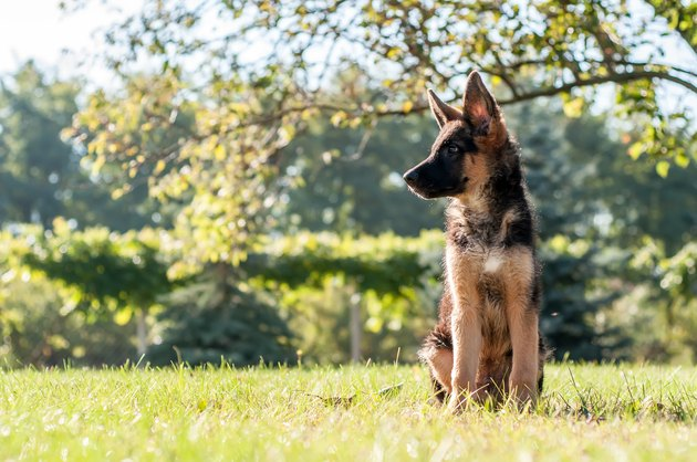 A german shepherd puppy sitting on the grass of a backyard