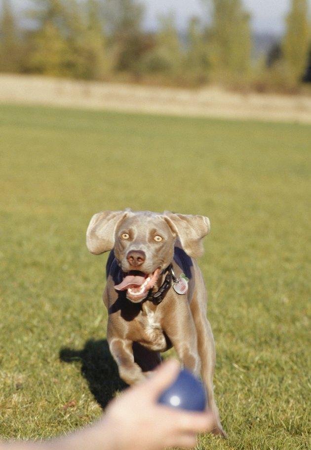 Weimaraner puppy running in park