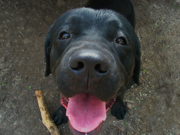 black labrador brought a stick and a big nose to the camera
