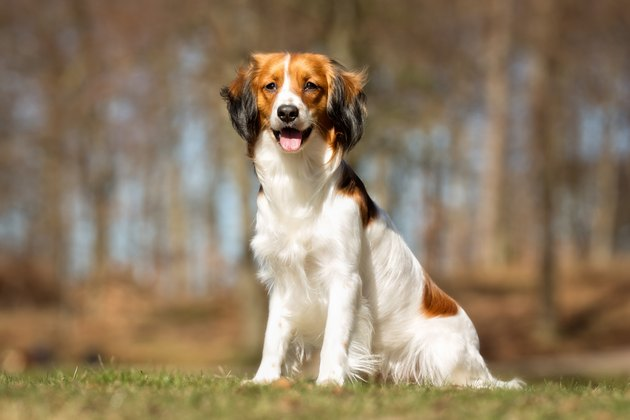 Kooikerhondje dog outdoors in nature