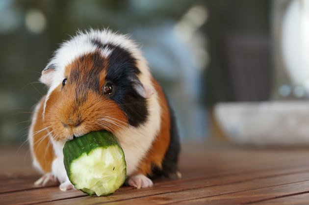 Close-Up Of Guinea Pig Eating Cucumber On Floorboard