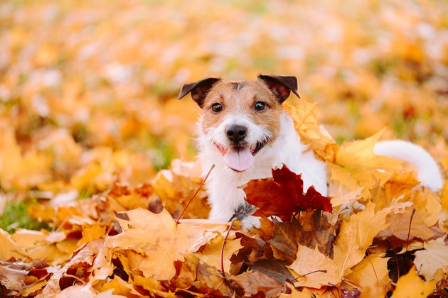 Small dog playing in piles of autumn leaves