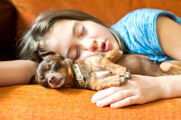 Sweet dream. Toy-terrier dog sleeping with her girl owner