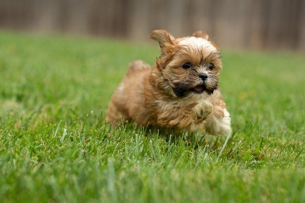 Shorkie Running in the Yard