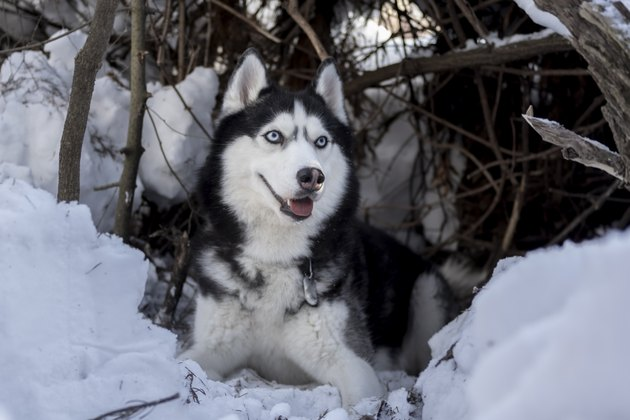 Siberian Husky dog rest on snow. Amazing husky dog with blue eyes lie in the shelter. Winter pet portrait