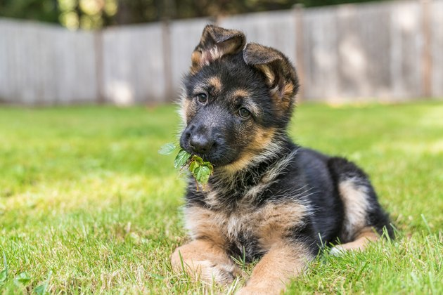 German Shepherd puppy with leaves in her mouth, enjoying sitting in the grass on a sunny day.