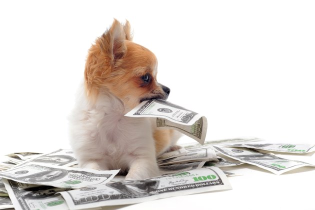 Baller Chihuahua surrounded with $100 bills