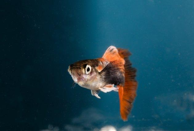 Aquarium fish, Guppy