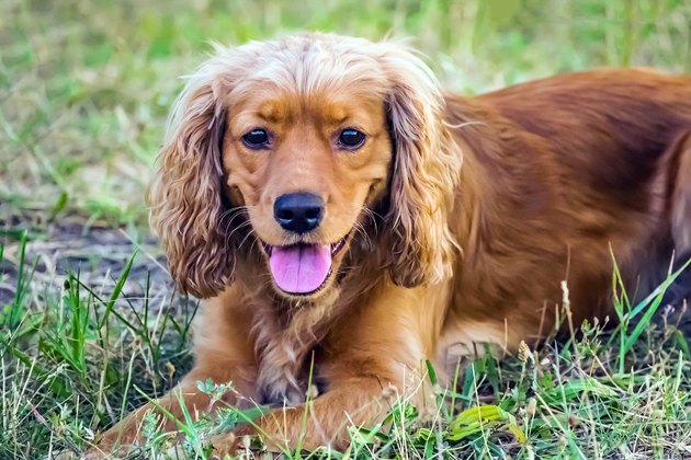 Cute red dog english cocker spaniel lying on the green grass at sunner day