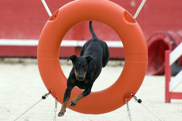 Manchester Terrier in agility