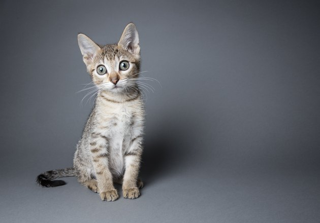 Adorable Tabby Kitten - The Amanda Collection