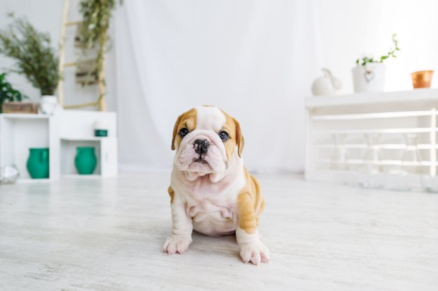 Funny puppy of english bull dog  on the floor looking to camera.