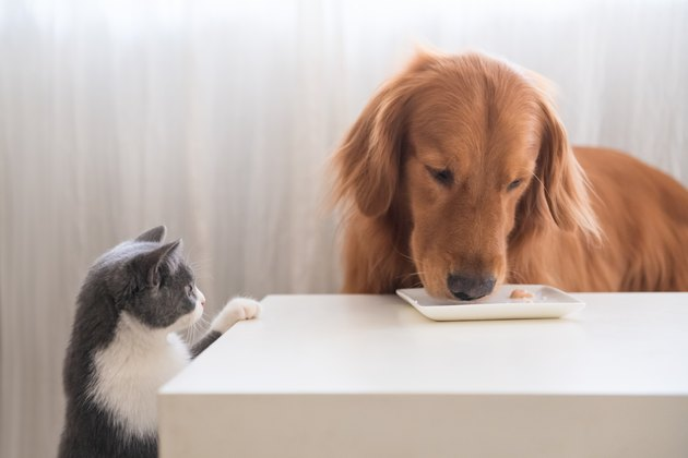 The kitten is watching the Golden retriever eating.