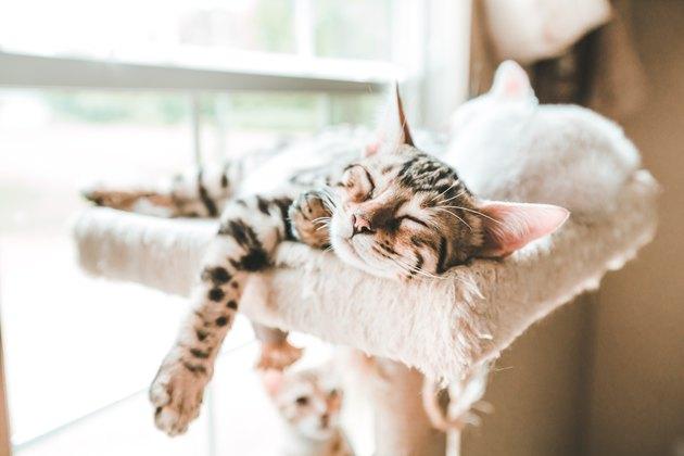 Carefree Kitten, Sleeping Kitten, Bengal Kitten Sleeping