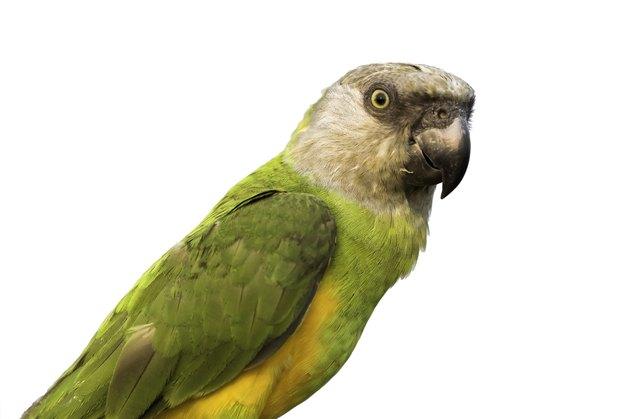 Senegal parrot portrait on white background, clipping path