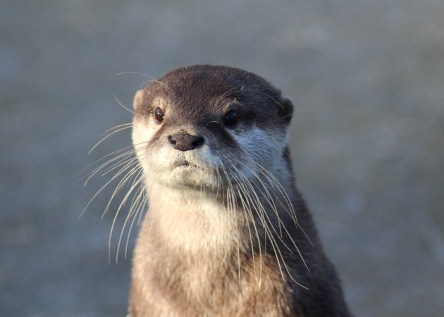 Asian Small clawed otter