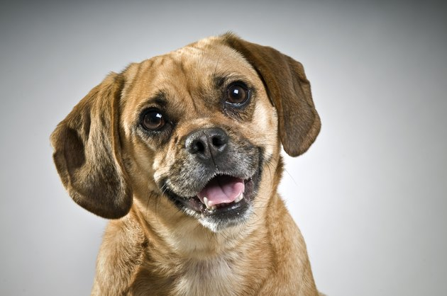 Puggle Puppy on gray background