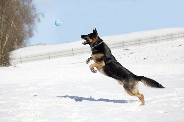 German Shepherd dog chasing a ball in the snow