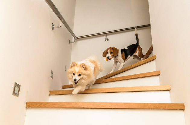 Two dogs running with a toy down the stairs