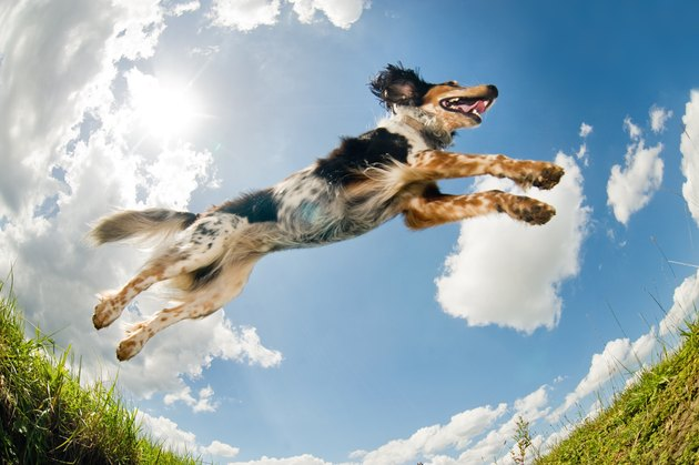 Jumping dog                                  (© Lobke Peers)