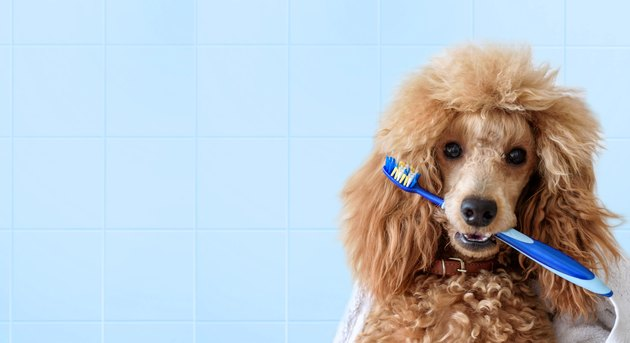 Cute poodle dog with toothbrush on the bathroom.