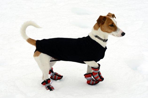 Cute little terrier wearing snow shoes