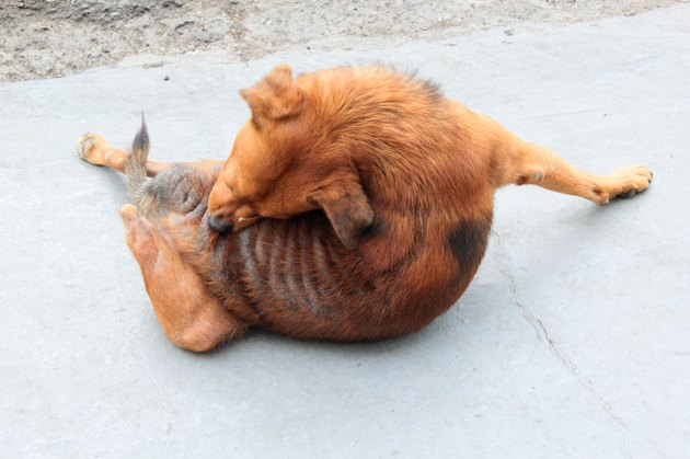 dog and fleas