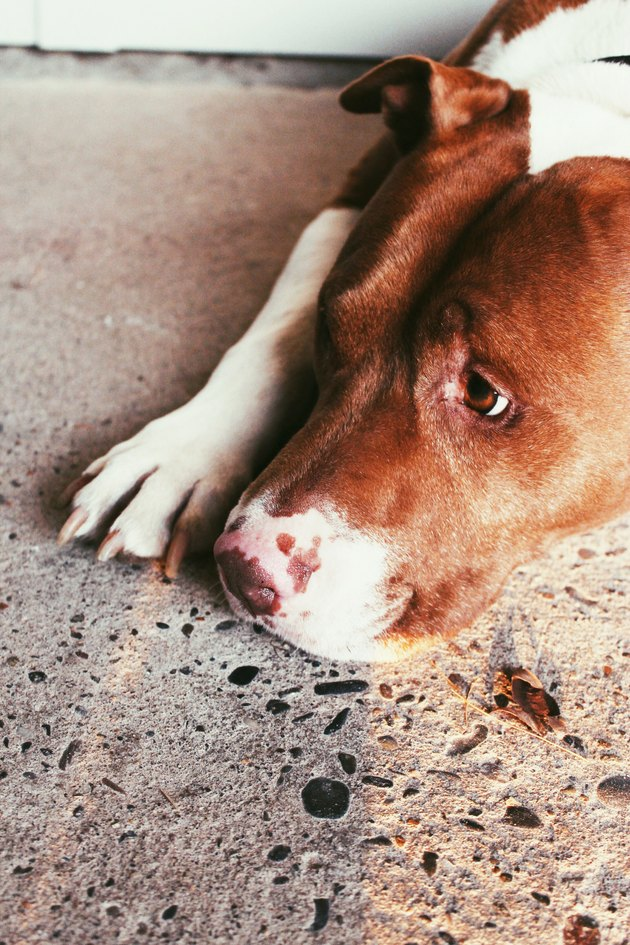 pit bull looking forlorn