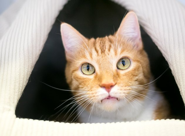 An orange tabby with large front teeth peeking out of a covered cat bed