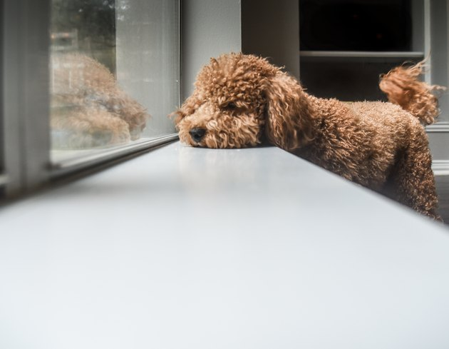 Dog Relaxing On Window Sill At Home
