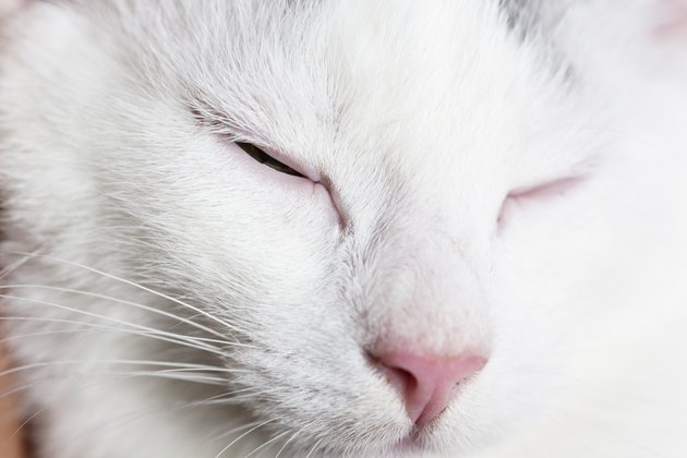close up white cat blinking