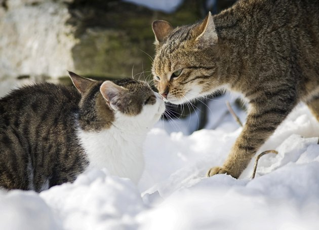 Cat sniffing an old tabby tomcat in the snow, Satteldorf, Hohenlohe, Baden-Wuerttemberg, Germany