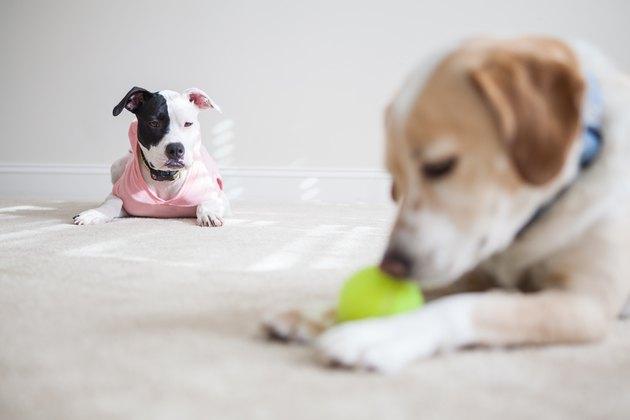 Jealous dog wants tennis ball
