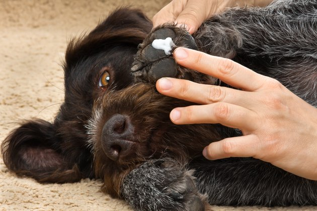hands smearing ointment on a dog's paw